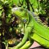 IguanaMemes