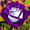 Purple_Rose_2016