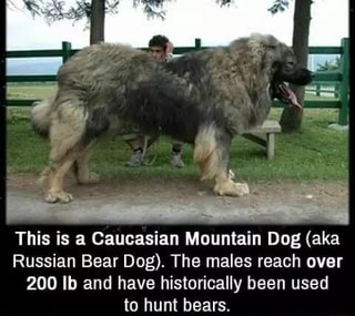 This Is A Caucasian Mountain Dog Aka Russian Bear Dog The
