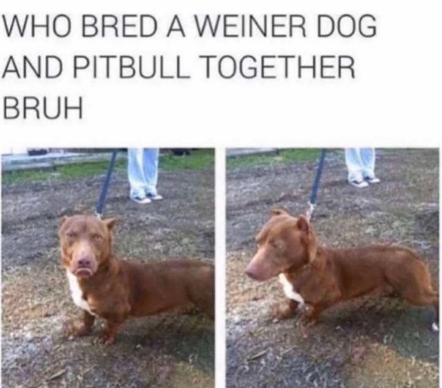 Who Bred A Weiner Dog And Pitbull Together Ifunny