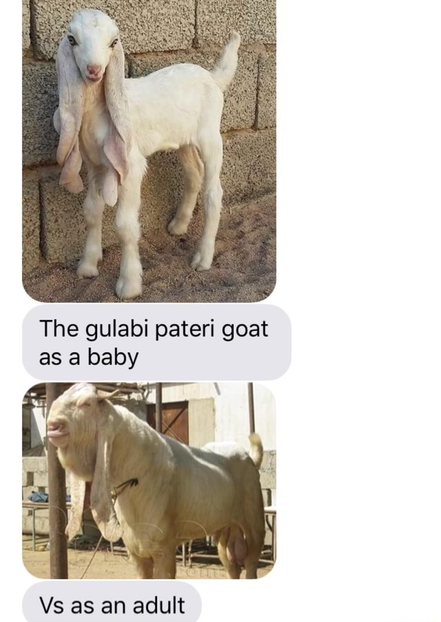 Gulabi Goat – Download the goat app for reminders and exclusive promotions.